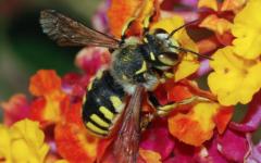 Bee Colonies Collapse, Honeybees Hurting